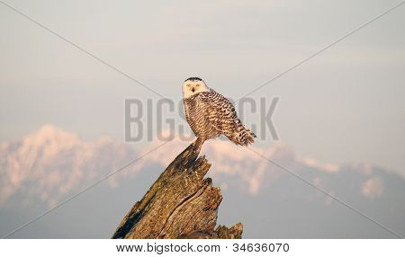 Snowy Owl Standing Proudly