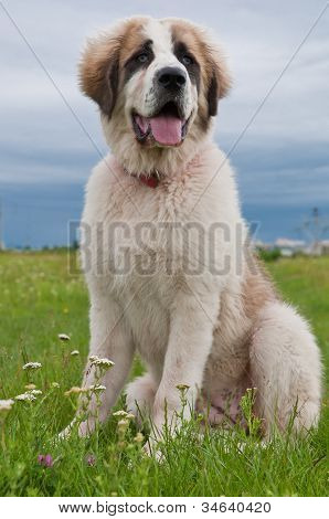 Portrait of Bucovina shepherd dog sitting
