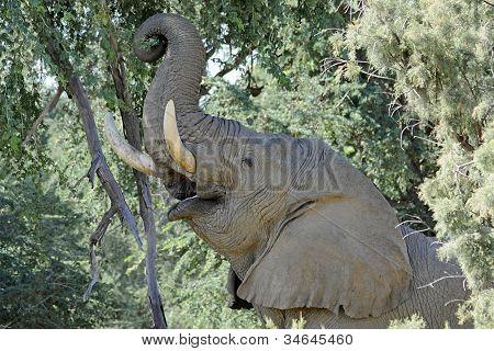 Desert Elephant of Namibia Reaches Eats from Tree