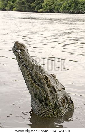Hungry Crocodile in Costa Rica