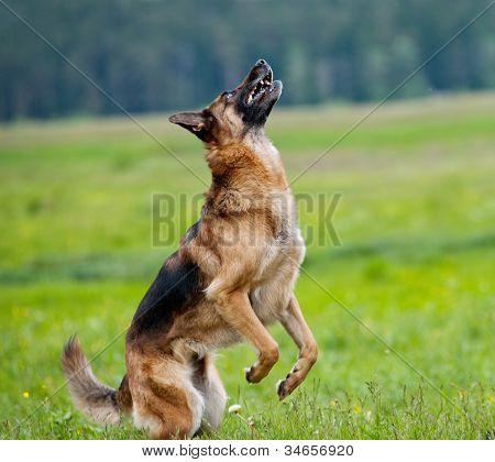 Dog Plays