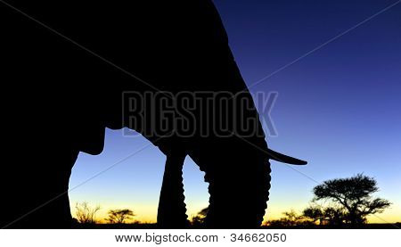 Silhouette of the head of an African elephant