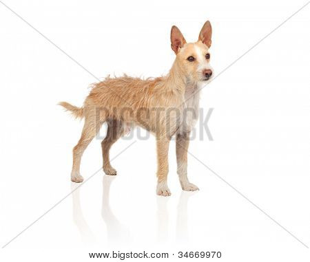 Beautiful portuguese hound isolated on white background