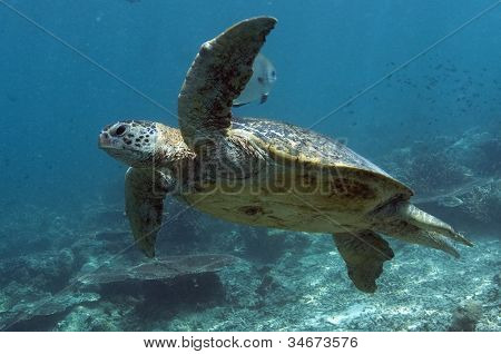 Sipadan Green Turtle Swimming Along Reef