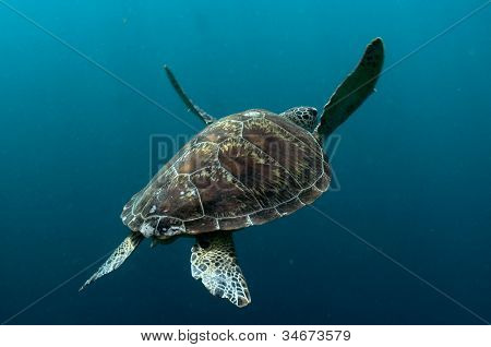 Sipadan Green Turtle Swimming