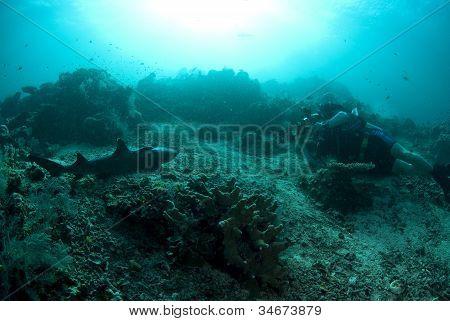 Sipadan White-tip Reef Shark Being Photographed