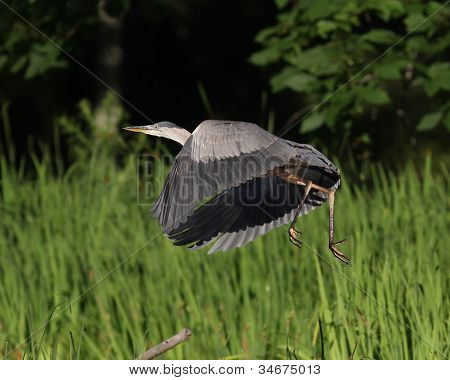 Great Blue Heron Flying Up From a Marsh