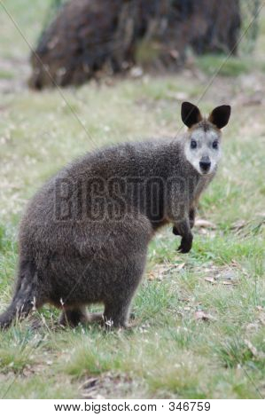 Elder Wallaby