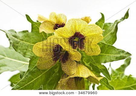 Beleño negro, planta de la medicina Medieval