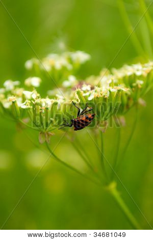 Striped Shield Bug On A Cow Parsley