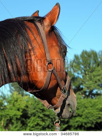 German Warmblood Horse portrait