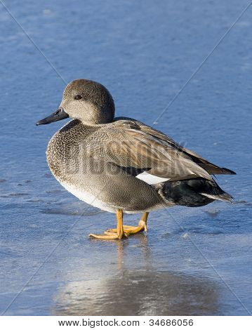 Gadwall standing on Ice