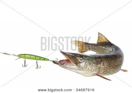 Pike And Artificial Bait