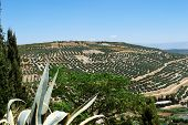 View Of Olive Groves And Countryside, Ubeda, Andalucia, Spain. poster