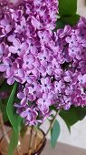 Purple Color Lilac Blossoms Closeup. Beautiful Spring Blooming Bunch Of Star Shaped Lilac Flowers. V poster