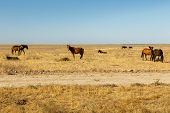 Herd Of Horses In The Steppe Of Kazakhstan, Horses Eat Dry Grass In The Pasture poster