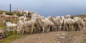 Llama Or Lama, Herd Of Lamas On Pastureland,  Andes Mountains, Peru poster