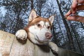 Stealing Husky Dog From The Yard. Siberian Husky Want To Steal. Pet Reaches Over The Fence For Tasty poster