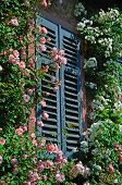 stock photo of climbing roses  - Many rose flowers in pink and white climbing on a wall of a house - JPG
