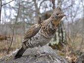 Ruffed Grouse on a log