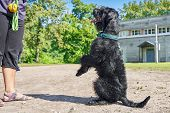 Big Black Giant Schnauzer Dog Sitting On Its Hind Legs Before Its Master. Workout In The Park poster