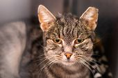 Portrait Of A Domestic Shorthair Cat With The Ear Cropped And Positive To Feline Coronavirus Infecti poster