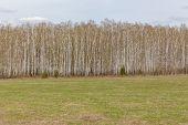 Birch Forest. Birch Grove. White Birch Trunks. Spring Sunny Forest. Russia poster
