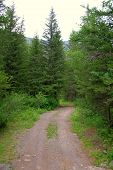 Forest Road Turns Right At A Tall Pine Tree. poster