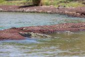 Big Nile Crocodile, Chamo Lake Ethiopia, Africa poster