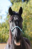 Closeup Portrait Of A Beautiful School Horse With Head Surrounding A Rural Ranch Pasture On A Sunny  poster
