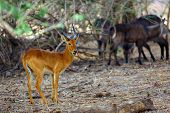 The Puku (kobus Vardonii Senganus) Male Standing In The Forest And In The Background The Waterbuck A poster
