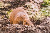 Closeup Of An Alpine Marmot Eating. Adult Brown Alpine Marmot Close Up. Marmota Marmota. Alpine Marm poster