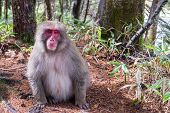Japanese Monkey Front Posture With Red Face Color And Sits On The Floor In Japanese Bamboo Green Tre poster