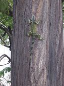 image of guayaquil  - This is an iguana on a tree - JPG