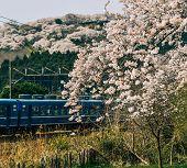 Tohoku Train With Full Bloom Of Sakura poster
