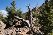 A  Grove Of Ancient Limber Pine And Bristle Cone Pine Trees Located In The Mosquito Range. The South poster