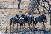 A Herd Of Blue Wildebeest - Connochaetes Taurinus- Standing On The Plains Of Etosha. Etosha National poster