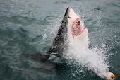 stock photo of apex  - A Great White Shark breaking the surface - JPG
