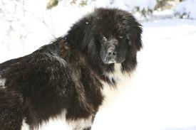 foto of gentle giant  - Watchful gentle giant land seer newfoundland dog - JPG
