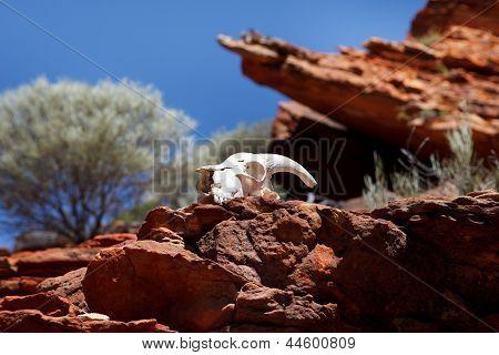 Goat Skull In Rocks