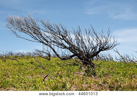Burnt Tree In Australian Outback