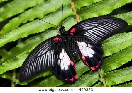 Common Swallowtail Butterfly