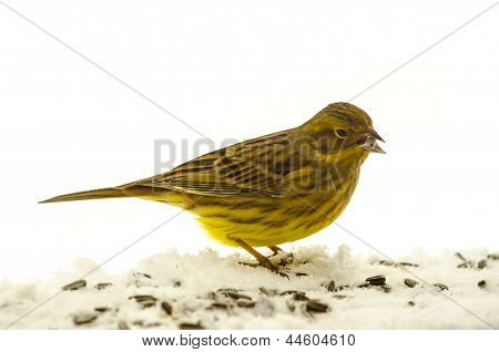 Bird Yellowhammer (emberiza Citrinella)