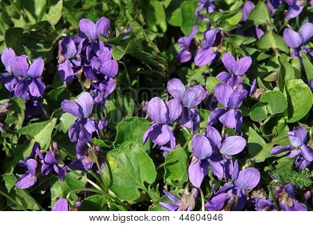 sweet violets on meadow