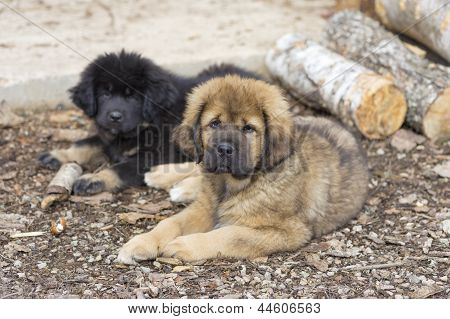 Two Tibetan Mastiff Puppies