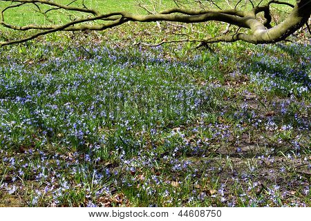 Common Bluebell.