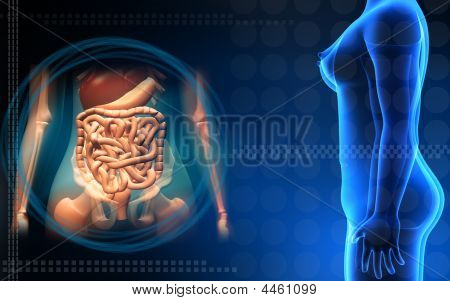 Female Human Body And Digestive System
