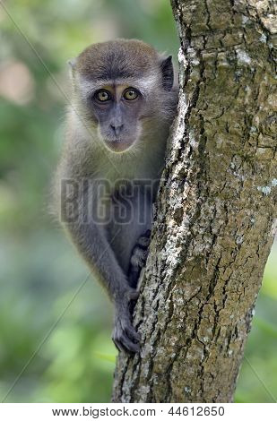 Long-tailed macaque monkey in tree