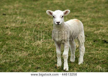 Single Lamb - Closeup