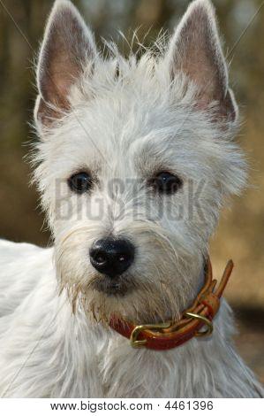 White West Highland terrier dog